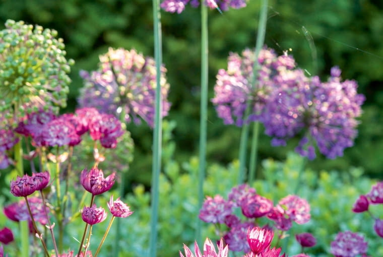 E93BYD Astrantia and Alliums in purple and pink themed border
