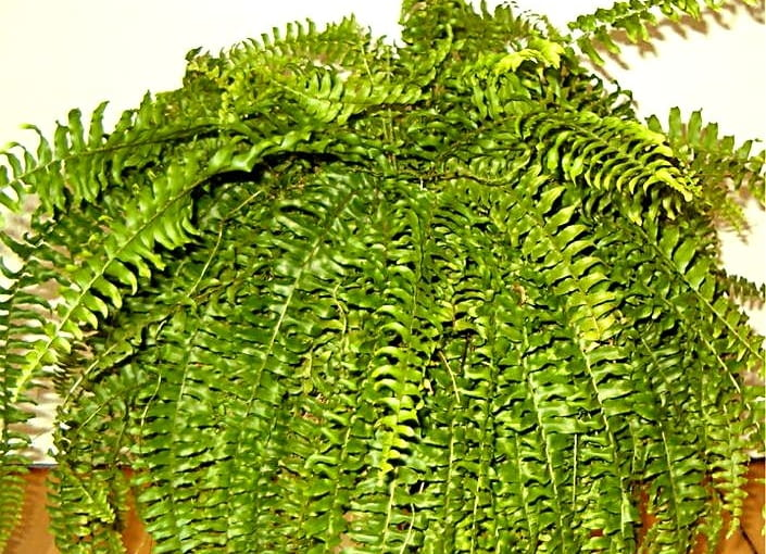 Paproć Nefrolepis wysoki (Nephrolepis exaltata)