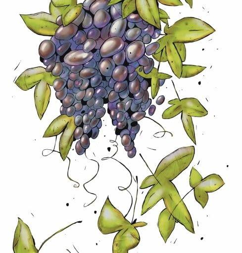 Winogrona będą smaczniejsze i lepiej wybarwione, gdy w sierpniu usuniemy liście, które przysłaniają dojrzewające owoce