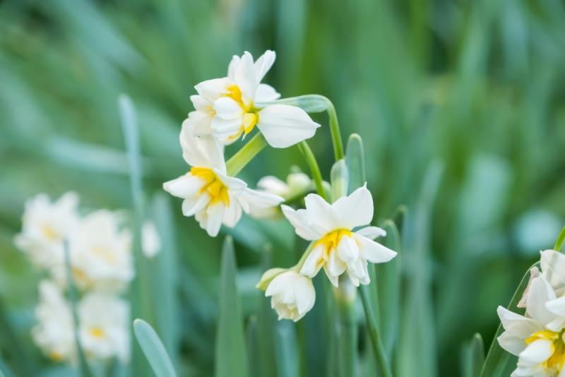Narcyzy o pełnych kwiatach Spośród wielu odmian narcyza najbardziej rozpowszechnione są żółte, ale kwiat w kolorze białym wygląda delikatniej i dostojniej. Warto mieszać różne barwy na rabacie.