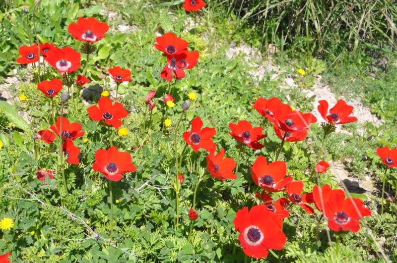Czerwone zawilce. Zawilce koronowe występują w czerwonej barwie i z daleka przypominają łudząco maleńkie kwitnące maki polne.
