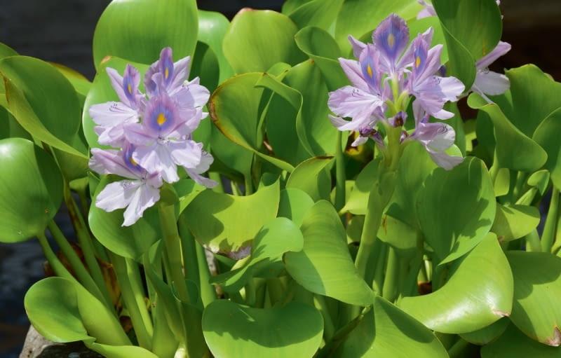 Hiacynt wodny (Eichhornia crassipes)