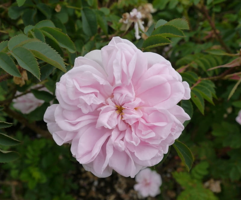 Róża Stanwell Perpetual
