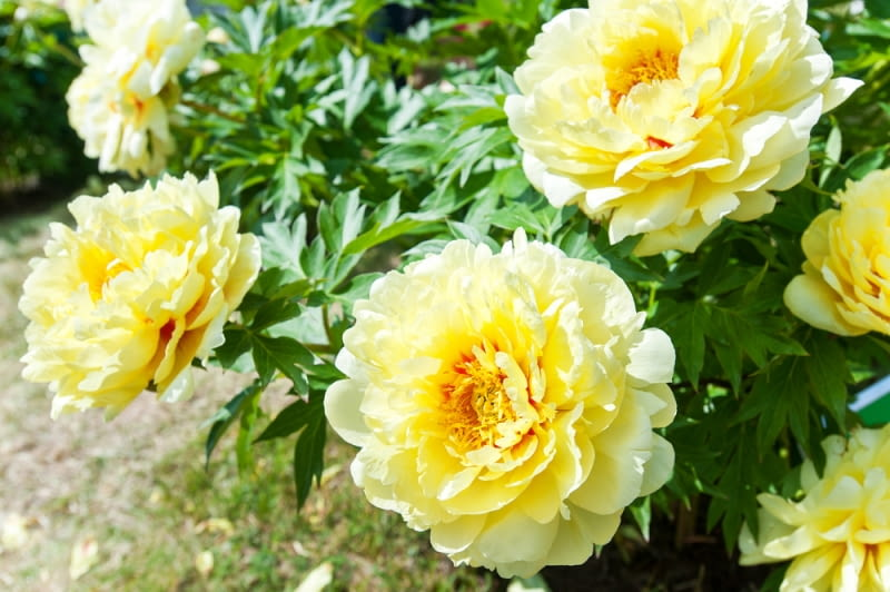 Peonia Primavera żółta