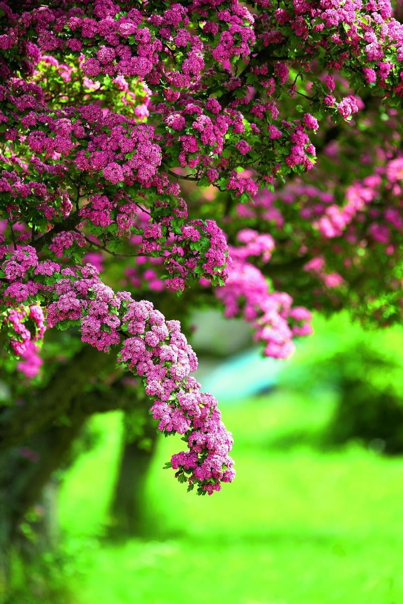 Drzewa Ozdobne Do Ogrodu E Ogrody