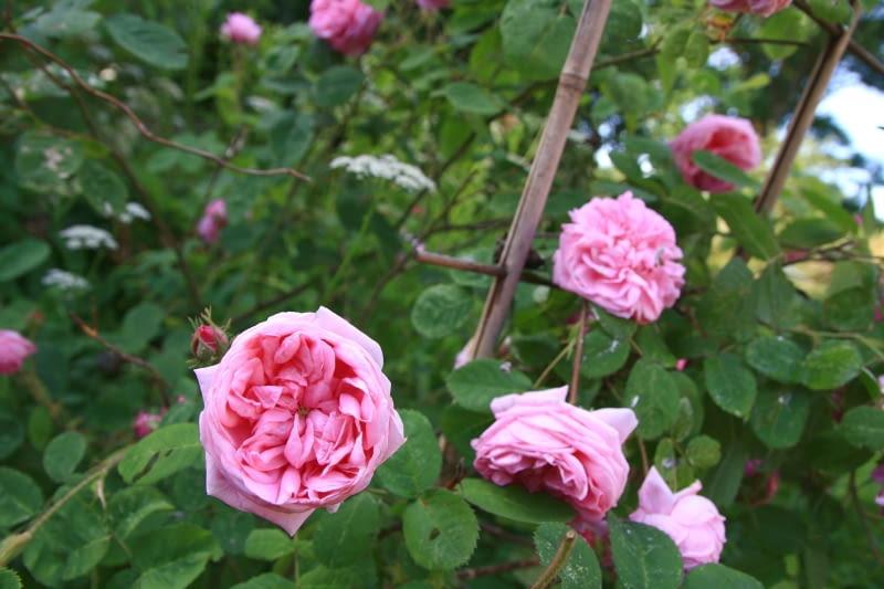 Róża Centifolia Cristata