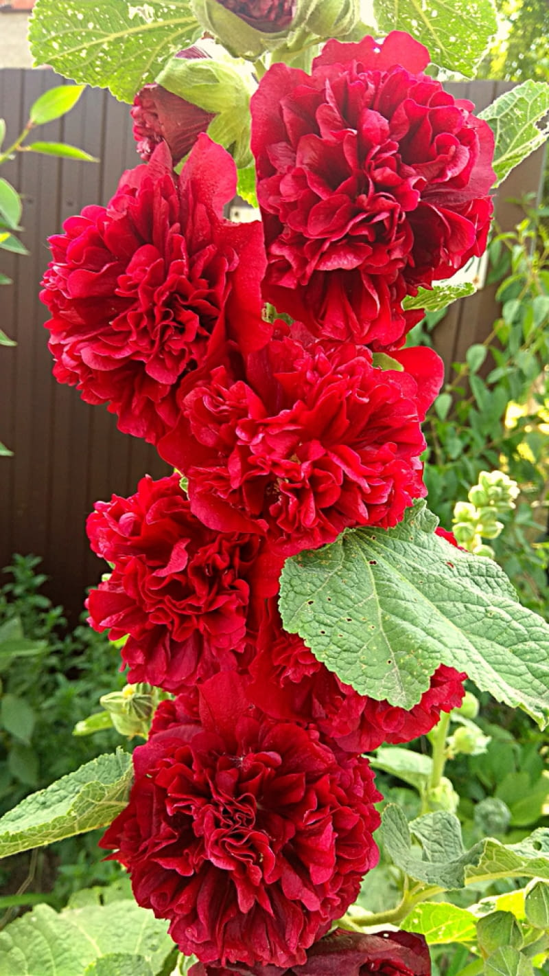 Malwa Double Scarlet
