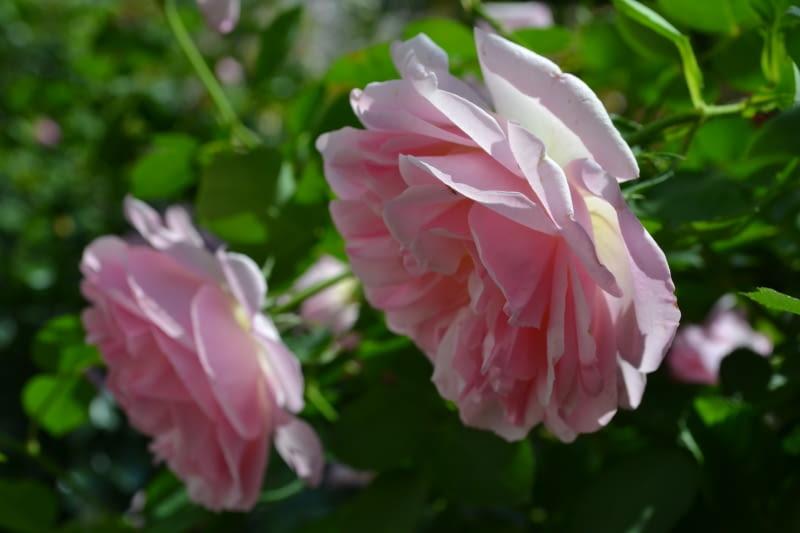 Róża angielska parkowa