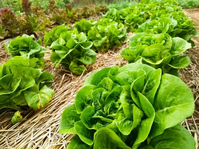 Ściółkowanie sałaty ogranicza chwasty i zapobiega brudzeniu się liści.