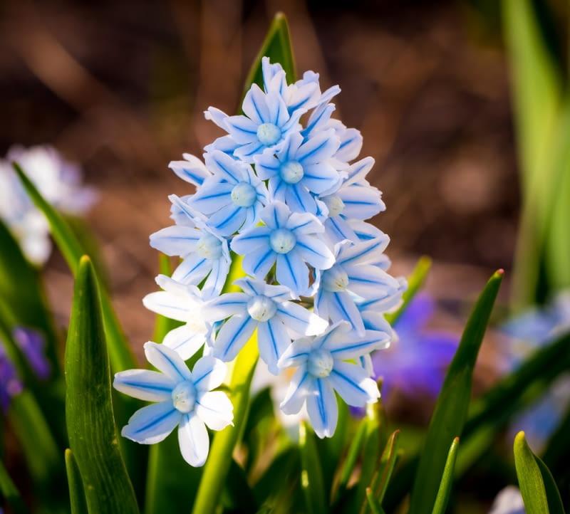 Kwiat puszkinii cebulicowatej Żaden spośród amatorów kwiatów wiosennych nie przejdzie obojętnie wobec jej subtelnej urody.