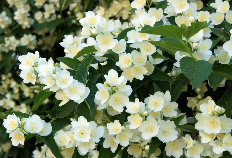 Jaśminowiec wonny Idealny krzew na żywopłoty, należy ciąć go po kwitnieniu, by pojawiło się na nim jak najwięcej wonnych kwiatów.