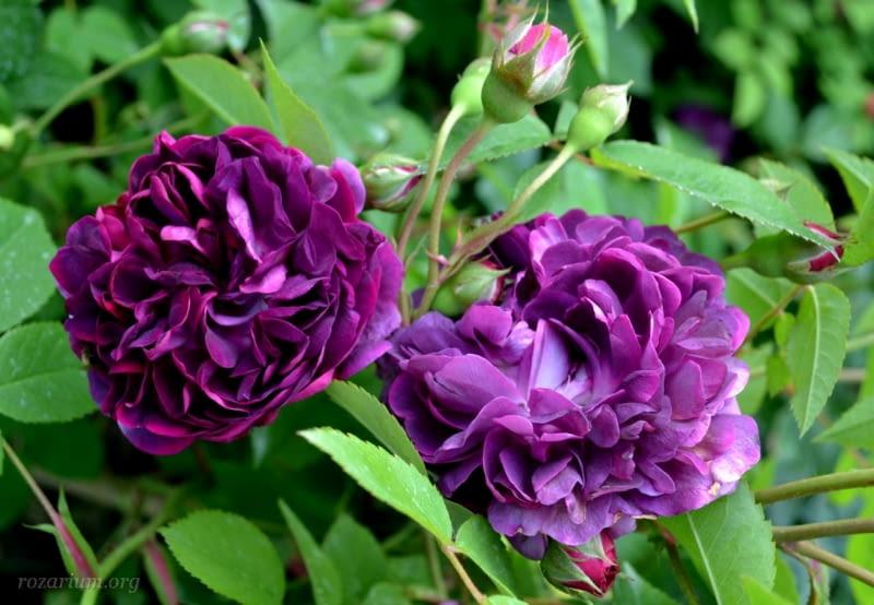 Róża francuska 'The Bishop'