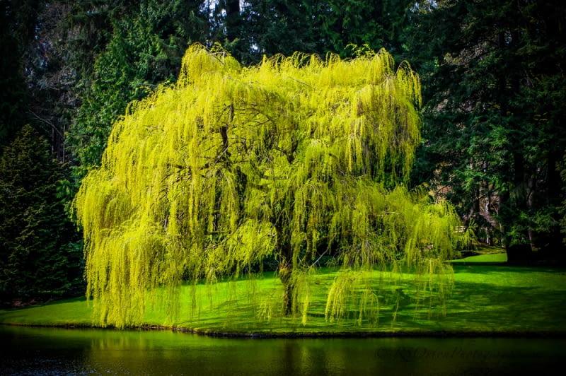 Płacząca wierzba w ogrodzie Nad wielkim zbiornikiem wodnym płacząca wierzba, pochylająca zielone włosy w lustrze wody, to absolutna konieczność. Któż inny będzie zawsze gotów nam towarzyszyć w chwilach chandry i zwątpienia?