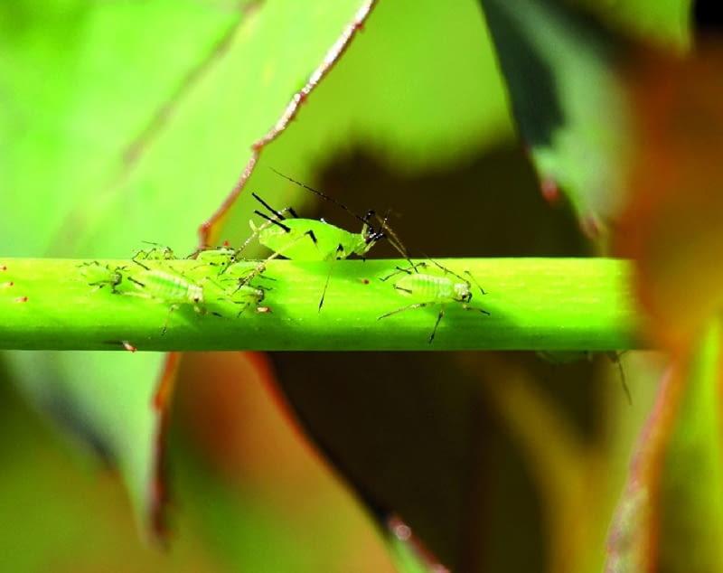Dorosła mszyca w otoczeniu mniejszych larw