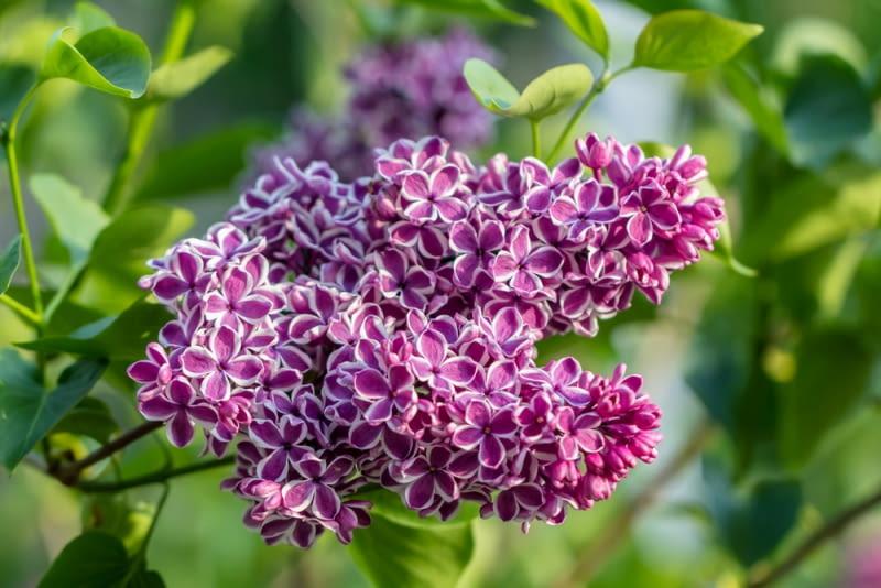 Bez występuje w tylu odmianach, że każdy znajdzie coś dla siebie. Jeśli mamy mały ogród, zdecydujmy się na bez drobnolistny, gdyż naprawdę szkoda byłoby, gdyby tego obłędnie pachnącego symbolu maja zabrakło w naszym ogródku. Jeśli trzymetrowe drzewko nie jest dla nas zbyt duże, warto rozważyć odmianę Lilak Sensation o nietypowych dwubarwnych kwiatach.