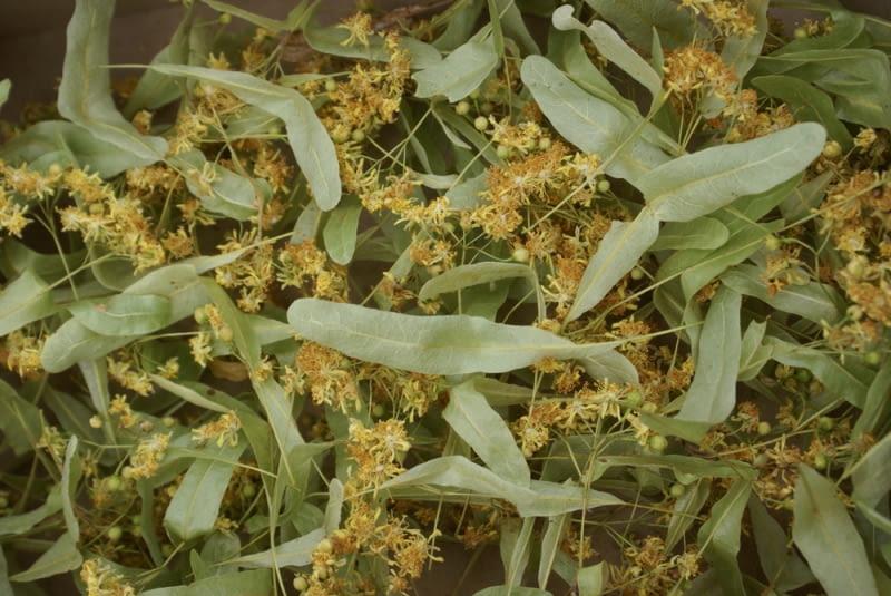 Suszone ziele lipy Poprawnie ususzone powinno lekko pachnieć, mieć bladożółty i bladozielony kolor, być puszyste. Zamknięte w słoju zbyt wcześnie, szybko pokryją się pleśnią i będą bezużyteczne.