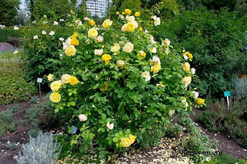 Róża angielska pnąca