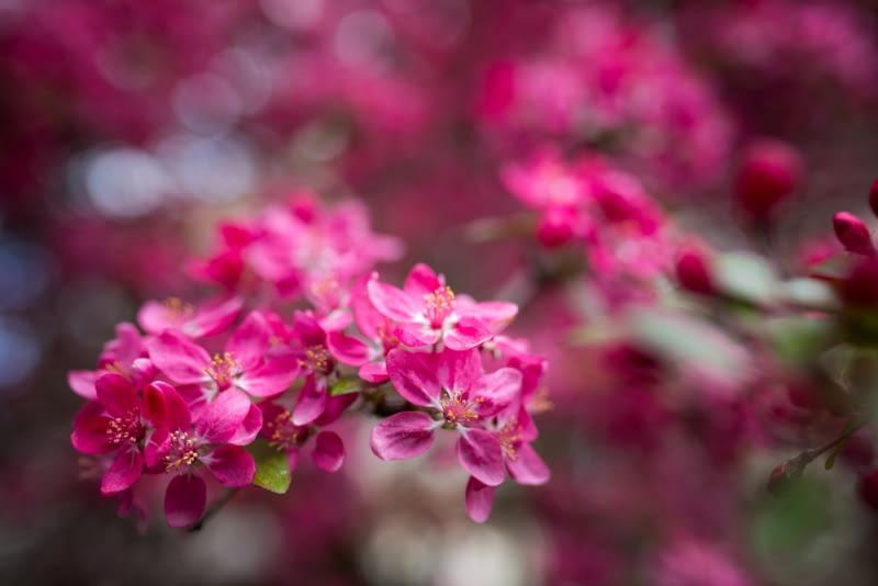 Różowe kwiaty jabłoni rajskiej Kiedy całe drzewo o głęboko burgundowych liściach zakwitnie w pięknym różowym kolorze, daje nam pojęcie, jak rzeczywiście mógł wyglądać raj.