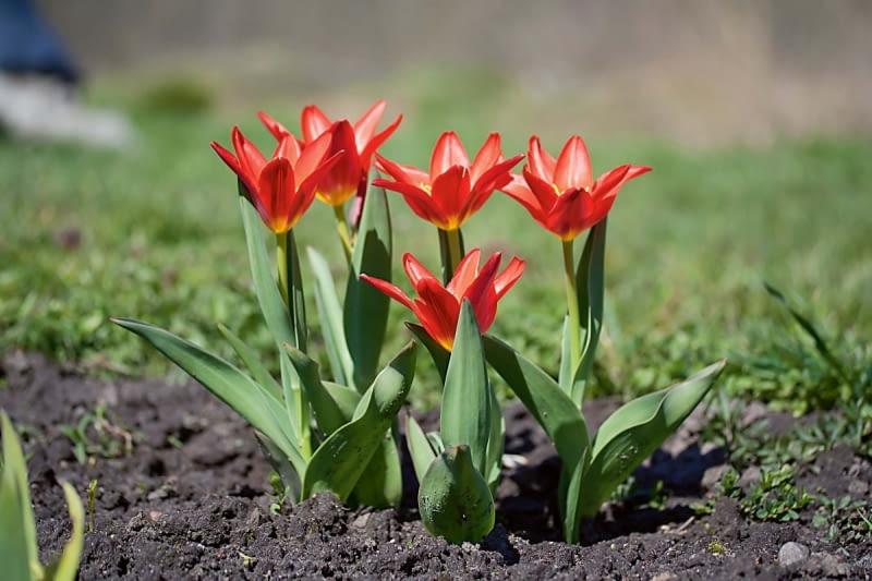 Tulipany botaniczne. Liczą od 15 do 25 centymetrów wysokości. Mają mniejsze kwiaty o ostro zakończonych kwiatach, węższe liście, kwitną już w marcu. Co 2-3 lata trzeba wykopać ich cebulki i przesadzić w inne miejsce. Jeśli nie będziemy tego robić regularnie, to nie wypuszczą pędu kwiatowego.