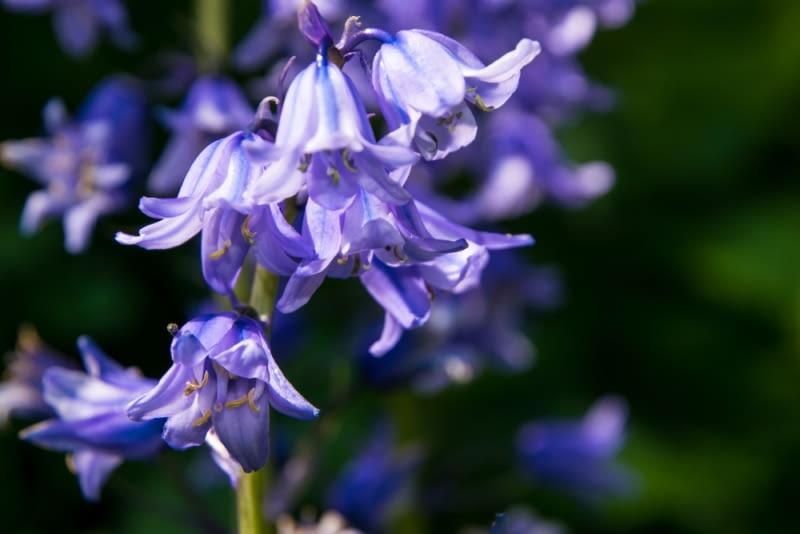 Cebulica wiosną Niebieskie kwiaty cebulicy zamieniają lasy naszych zachodnich sąsiadów w rajskie ogrody z niebieskimi kobiercami.