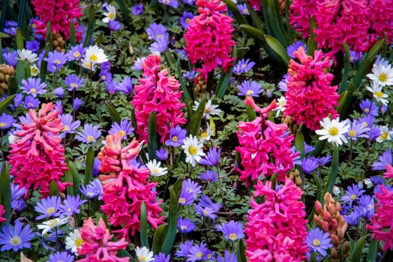 Różowe hiacynty na rabacie. Pięknie wyglądają wiosenne zestawienia roślin cebulowych. Tu hiacynty kontrastują z niebieskimi anemonami.