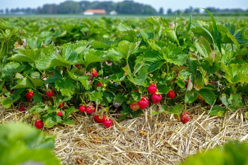 Gęste krzaki truskawek Nie usuwając rozłogów spowodujemy, że rośliny będą rosły w zbyt dużym zagęszczeniu, a ich owoce skarłowacieją.