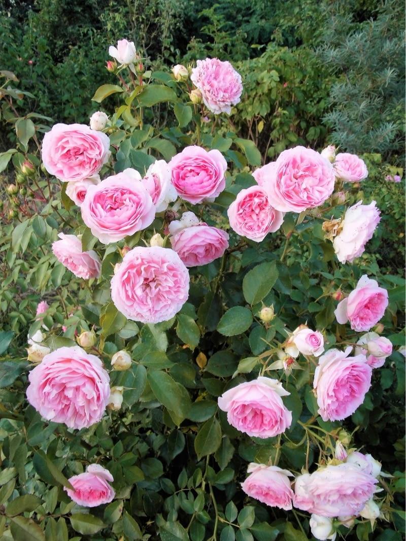 Róża rabatowa Herzogin Christiana