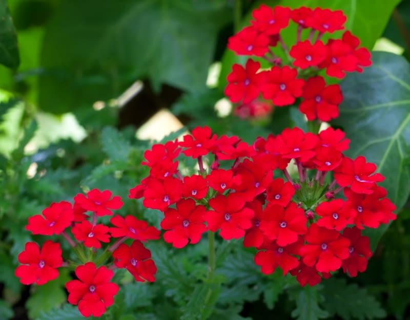 Werbena ogrodowa Fire red