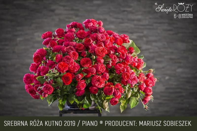 Róża odmiana Piano