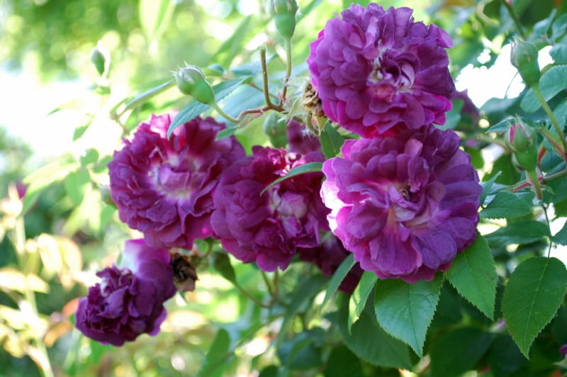 Róża francuska 'Cardinal de Richelieu'