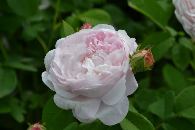 Róża francuska 'Duchesse de Montebello'