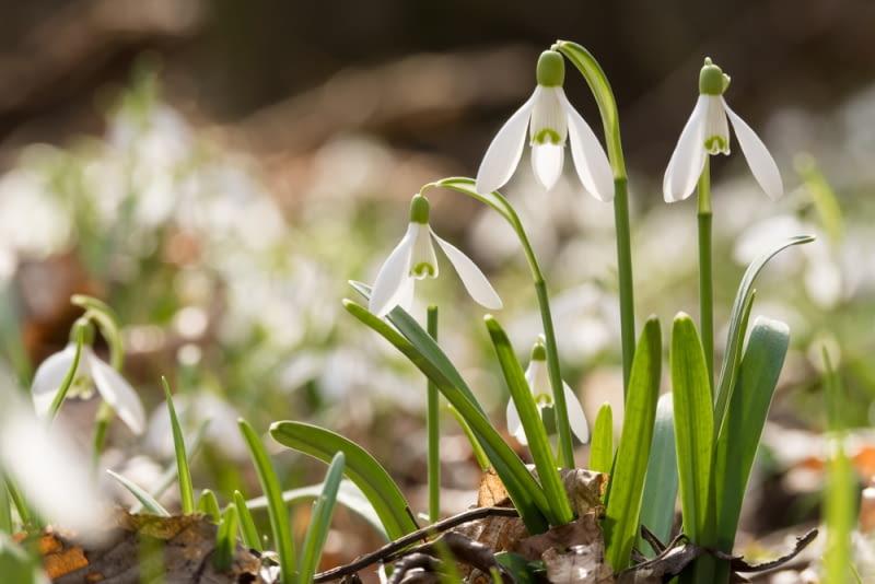 Śnieżyczka Śnieżyczki to kwiaty dla tych, co lubią wnikliwie podziwiać naturę. Jeśli zadamy sobie trud pochylenia się do nich, zobaczymy jak wiele mają uroku.