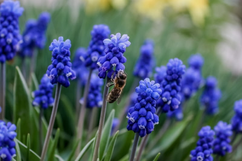 Szafirki Te piękne kwiaty najlepiej prezentują się w grupie. Są to też idealne rośliny obwódkowe, szczególnie, że kwitną dość długo.