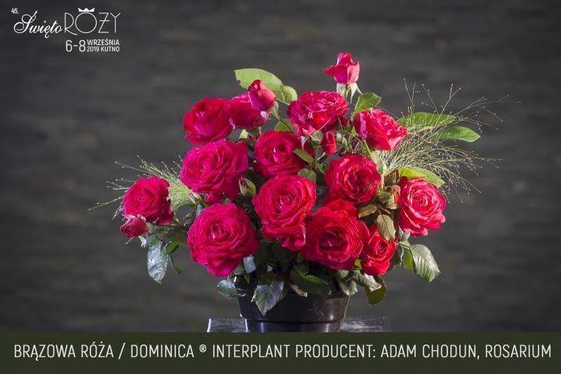 Róża odmiana Dominica