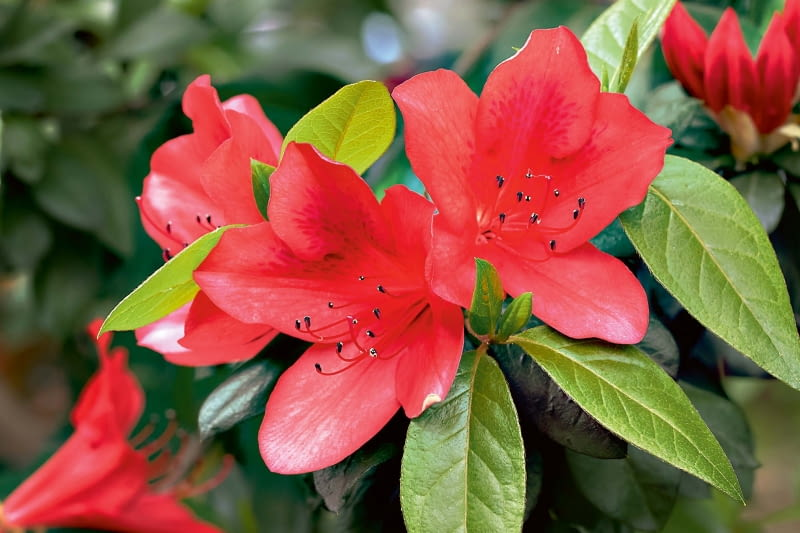 Azalia (Rhododendron)