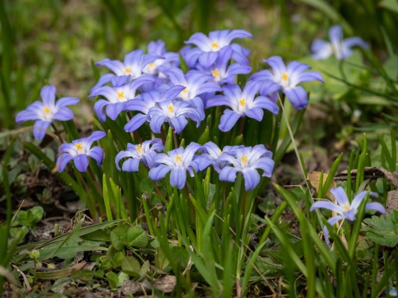 Kwitnące śnieżniki Nie straszne im lutowe mrozy; to jedne z najwcześniej pojawiających się w ogrodzie kwiatów.