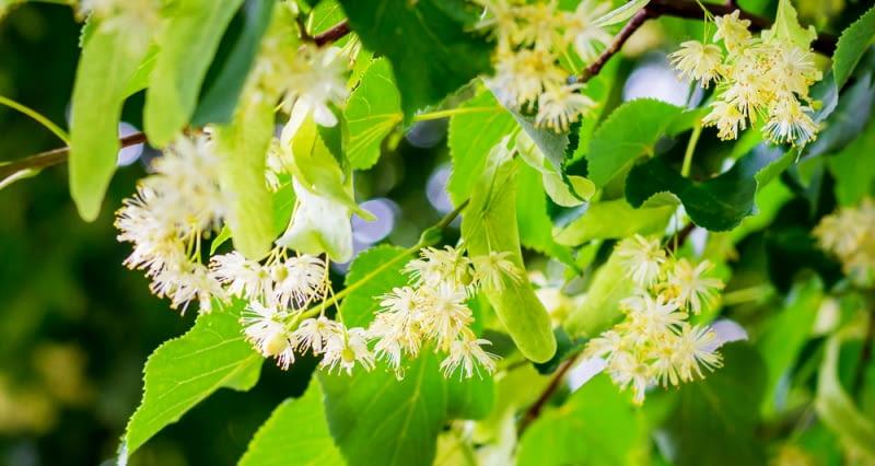 Pierzaste kwiaty lipy Kwiaty w kolorze blado żółtym osadzone są na krótkim ogonku, zaopatrzonym dodatkowo w skrzydełko liściowe.