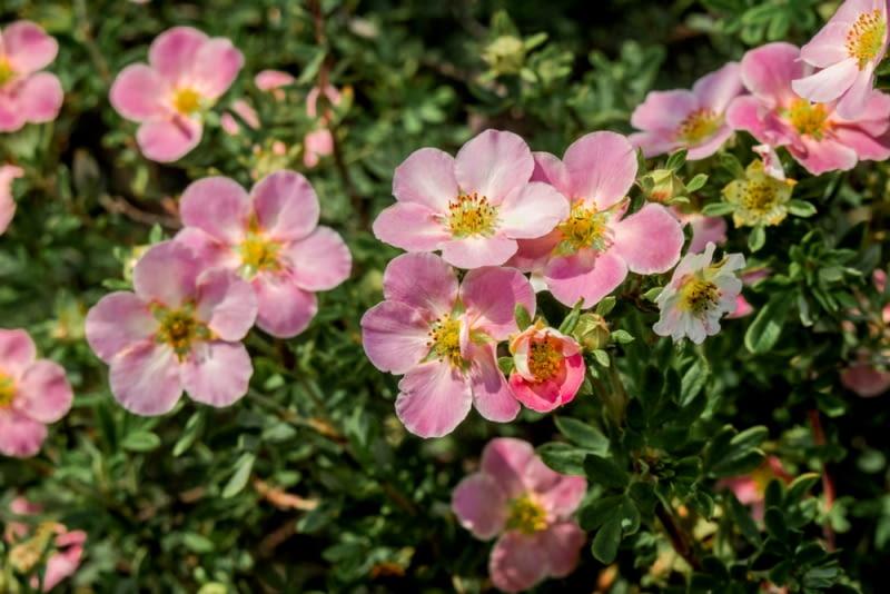 Różowy pięciornik krzewiasty Kwitnie także w kolorach: białym, żółtym oraz pomarańczowo czerwonym. Same krzewy mogą stworzyć kolorową rabatę.