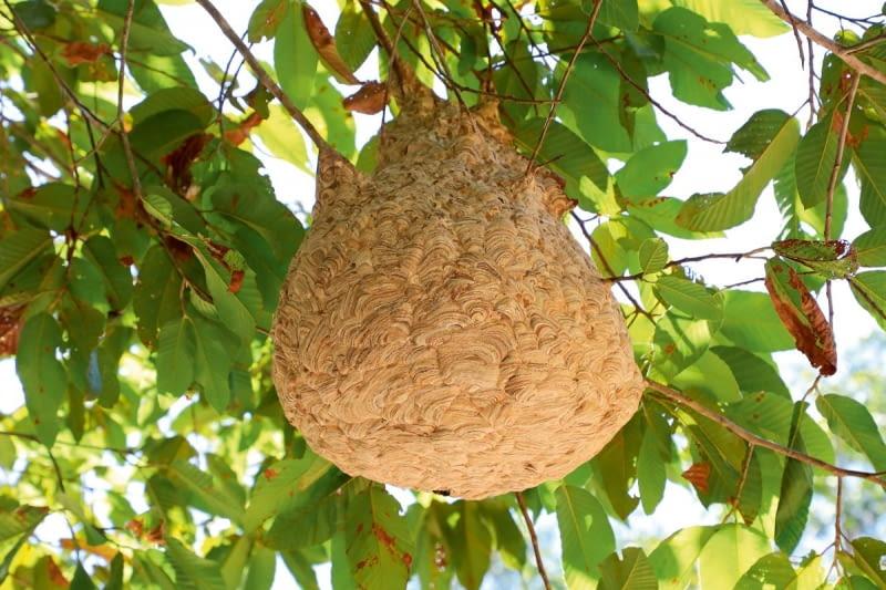 Gniazdo szerszenia ukryte wkoronie drzewa może być mało widoczne dla przechodnia.