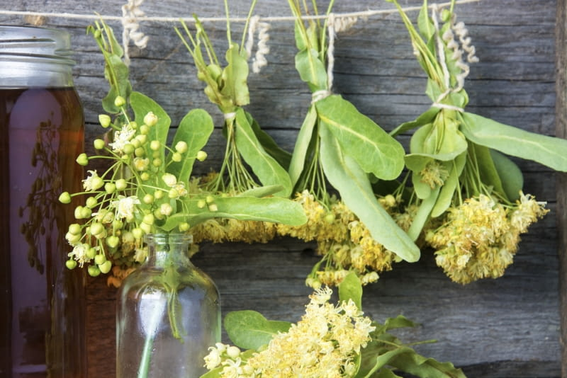 Suszące się kwiatostany lipy Czyż same w sobie nie działają na nas terapeutycznie? Znajdźmy czas na odpoczynek pod lipą nawet jeśli, nie znajdziemy go na produkcję nalewki.