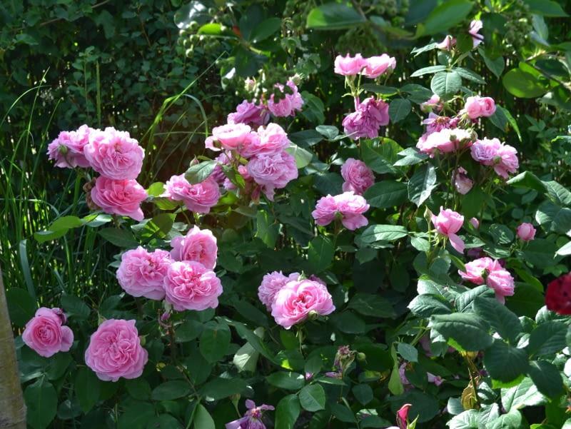 Róża angielska