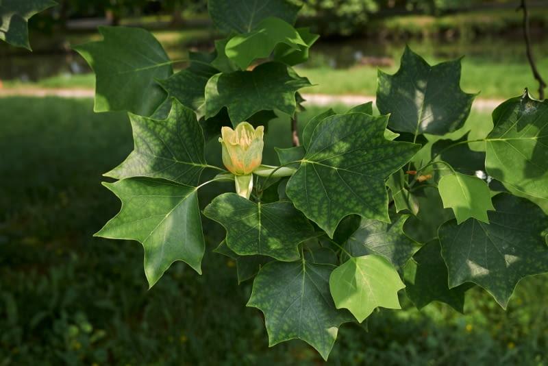 Tulipanowiec w okresie kwitnienia Cierpliwi, którzy zdecydują się poczekać, aż drzewo zakwitnie, doczekają się kwiatów po kilku latach.