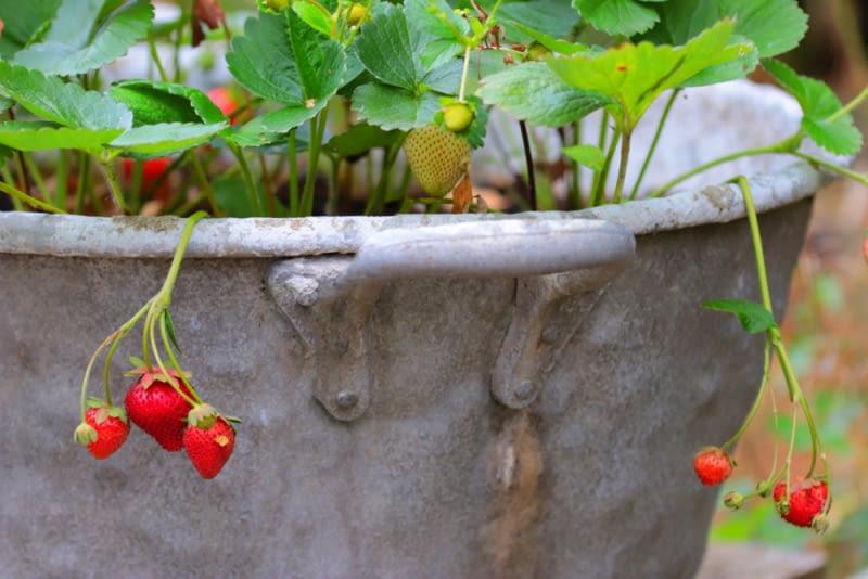 Truskawki w cynowym wiaderku. Stare wiadro z drenażem ze żwiru, dobra ziemia i słońce - to sekrety udanej uprawy truskawek na balkonie.