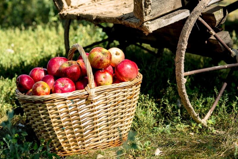 Jabłka w wiklinowym koszyku Wiklinowy kosz to świetny pojemnik do przechowywania owoców, gdyż powietrze może swobodnie docierać do wszystkich owoców.