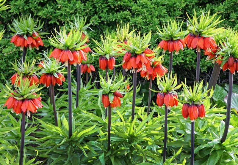 Kwitnąca Szachownica cesarska. Rośliny wyglądają bardzo egzotycznie, więc będą poszukiwane przez osoby zakochane w orientalnej roślinności.