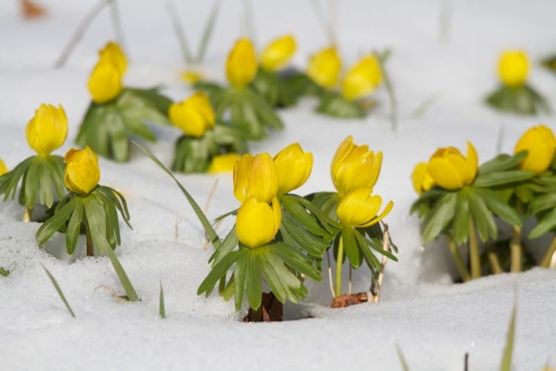 Ranniki w śniegu Ranniki to kolejne roślinki zadarniające, które mogą zadomowić się w naszym ogrodzie.