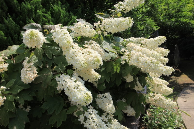 Hortensja dębolistna W porze kwitnienia, jak wszystkie hortensje, obsypana jest kwiatami, w innym czasie zachwyca niesamowitymi liśćmi.