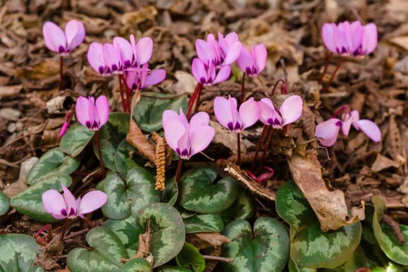 Kwitnące cyklameny To kolejne dzielne piękności w ogrodzie. Posadźmy go blisko tarasu, by nie przeoczyć okresu kwitnienia tych niewielkich kwiatów.