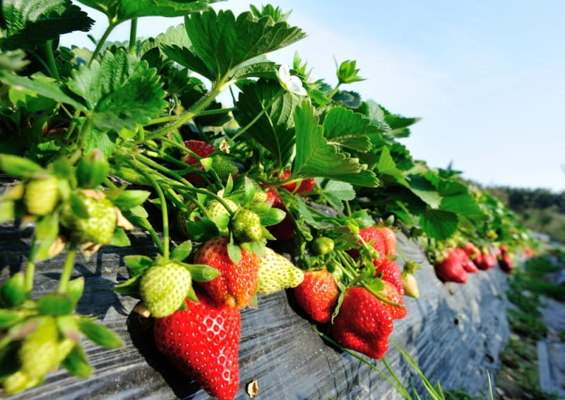 Truskawki posadzone na wzniesieniu. Ich owoce pod swym ciężarem przewieszają się na boki, ułatwiając zbiór.