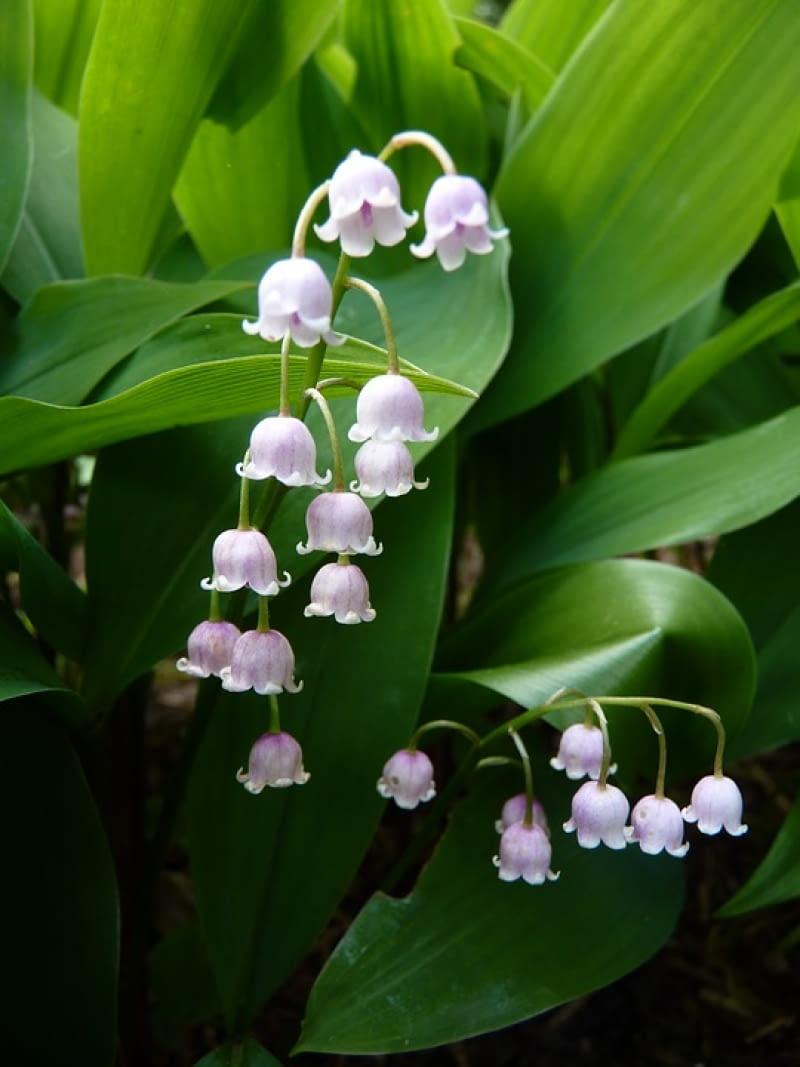 To ukochane przez Francuzów konwalie. Sądzą oni nawet, że kwiaty konwalii wabią słowiki. Szczególnie polecane dla osób pragnących założyć rabatę z różowymi kwiatami, a posiadają częściowo zalesioną działkę.